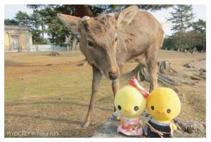 piyockey_deer